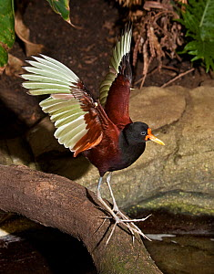 Wattled jacana (Jacana jacana) flapping wings, captive, from central and south america  -  Rod Williams