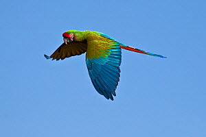 Military macaw (Ara militaris) in flight, captive, from Central and South America, Vulnerable Species  -  Rod Williams