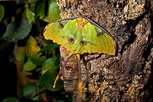 African moon moth (Argema mimosae) captive, from Africa  -  Rod Williams