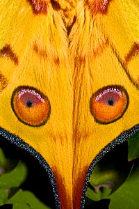 Male Comet Moth / Madagascan Moon Moth (Argema mittrei) close up of eye pattern on wings, captive, from Madagascar  -  Rod Williams