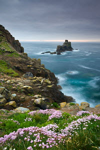 Sea thrift (Ameria maritima) growing on the cliffs at Land's End, looking towards the Armed Knight rock stack, Cornwall, England. May 2009.  -  Adam Burton