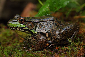 Male Green Frog (Rana clamitans) sheltering in mossy folliage,  New York, USA  -  John Cancalosi