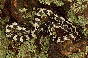 California Kingsnake (Lampropeltis getulus californiae) in aberrant phase, Captive, USA  -  John Cancalosi