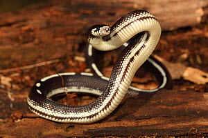 California Kingsnake (Lampropeltis getulus californiae) in striped phase, defensive posture, Captive, USA  -  John Cancalosi