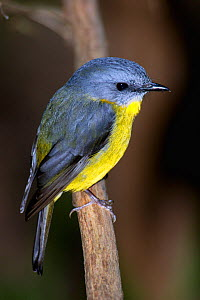 Portrait of Eastern Yellow robin (Eopsaltria australis) perching on branch.  -  Roger Powell