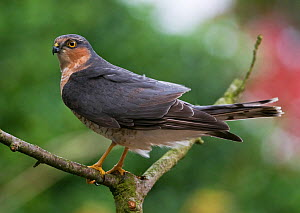 Portrait of a young male Sparrowhawk (Accipter nisus) on hunting perch in suburban garden, Northumberland, UK - Roger Powell