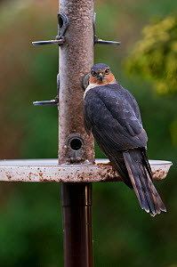 Young male Sparrowhawk perched on plastic feeder in suburban garden, hunting for small garden birds. Northumberland, UK.  -  Roger Powell