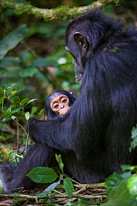 Mother Chimpanzee (Pan troglodytes) sitting, holding one year old infant. Tropical forest, Western Uganda.  -  Suzi Eszterhas