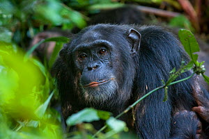 Portrait of adult male Chimpanzee (Pan troglodytes)  Tropical forest, Western Uganda.  -  Suzi Eszterhas
