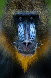 Head portrait of male Mandrill (Mandrillus sphinx) Captive. Apenheul zoo; the Netherlands.  -  Edwin Giesbers