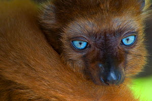 Sclater's black lemur (Eulemur macaco flavifrons) Captive, the Netherlands. Critically Endangered.  -  Edwin Giesbers