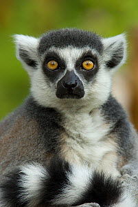 RF- Ring-tailed Lemur portrait (Lemur catta), captive, Netherlands. (This image may be licensed either as rights managed or royalty free.) - Edwin  Giesbers