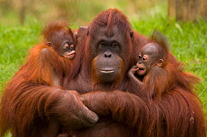 Female Orang Utan (Pongo pygmaeus) sitting, holding two young. One is her own offspring, the other was rejected by its birth mother, and so this female has adopted it. Both young are 3 months old.Capt...  -  Edwin Giesbers