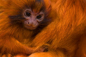 Golden lion tamarin (Leontopithecus rosalia) young being nursed by mother. Critically endangered; from South America. Captive, the Netherlands.  -  Edwin Giesbers