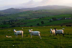 Flock of shorn sheep (Ovis aries) on traditional farmland, North Wales, August 2009  -  David Woodfall