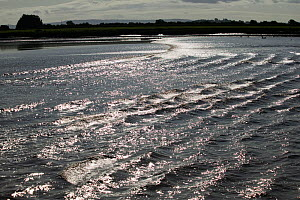 Severn bore lit up by strong sunlight. Severn Estuary. England, August 2009  -  David Woodfall