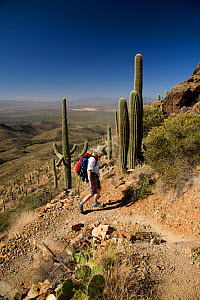 Hiker on the Wasson Peak trail in Saguaro National Park. Arizona, USA, March 2009 model released  -  Kirkendall-Spring