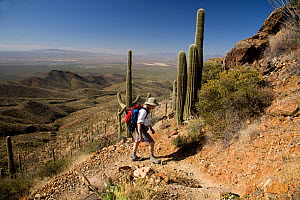 Hiker on the Wasson Peak trail in Saguaro National Park. Arizona, USA, March 2009, model released  -  Kirkendall-Spring