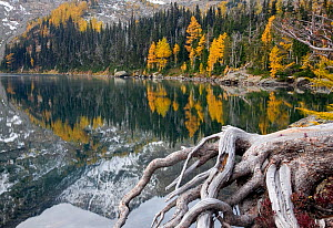 Larch trees (Larix) in autumn colour at Larch Lake in the Alpine Lakes Wilderness. Washington, USA, October 2009  -  Kirkendall-Spring