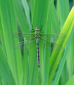 Emperor dragonfly (Anax imperator) resting, Hampshire, UK, June,  -  Robert Thompson
