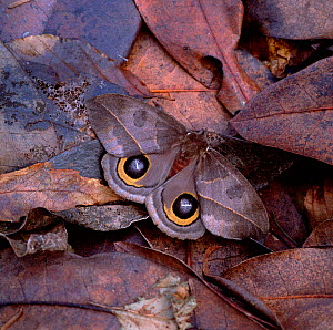 Saturniid moth (Automeris armina) wings open, camouflaged amongst leaf litter in tropical forest, South America  -  Robert Thompson