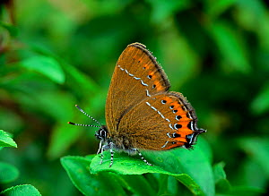 Black hairstreak butterfly (Satyrium pruni) resting with wings closed on vegetation, Northern Ireland, UK  -  Robert Thompson