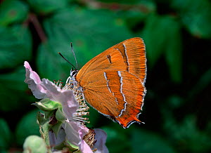 Brown hairstreak butterfly (Thecla betulae) feeding on bramble flower, Burren, County Clare, Ireland - Robert Thompson