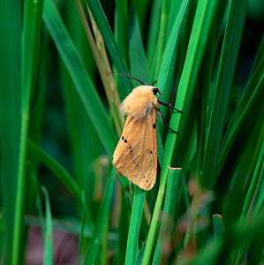 Buff ermine moth (Spilarctia luteum) resting on grass, Ireland - Robert Thompson