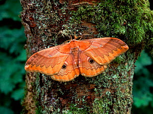 Japanese giant silkworm moth (Caligula japonica) resting on tree trunk with wings open. - Robert Thompson