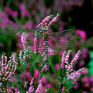 Common blue hawker dragonfly (Aeshna juncea) on heather flowers, Upper Lake Glendalough, County Wicklow, Ireland, August  -  Robert Thompson