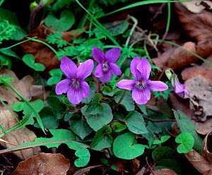 Common dog violet (Viola riviniana) flowering in oak woodland, County Armagh, Northern Ireland, UK, April  -  Robert Thompson