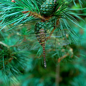 Common hawker dragonfly (Aeshna juncea) female green form on pine cone, Mourne Mountains, County Down, Northern Ireland, UK, August  -  Robert Thompson
