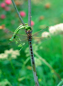 Common hawker dragonfly (Aeshna juncea) male, Brackagh Moss NNR, County Down, Northern Ireland, UK, July  -  Robert Thompson