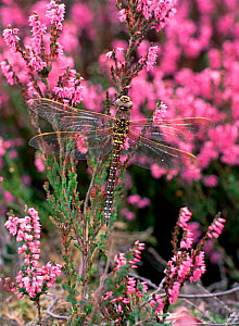 Common hawker dragonfly (Aeshna juncea) on heather flowers, Lackan Bog ASSI, County Down, Northern Ireland, UK, August  -  Robert Thompson