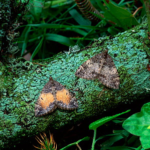 Common marbled carpet moth (Chloroclysta truncata) two different colour forms, Castlewellan Forest Park, County Down, Northern Ireland, UK, May  -  Robert Thompson