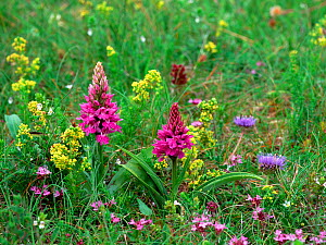 Hebridean spotted orchid (Dactylorhiza hebridensis) flowering amongst other wildflowers on Cruit Island, County Donegal, Northern Ireland, UK, July  -  Robert Thompson