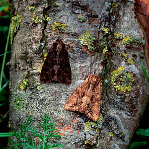 Dark arches moth (Apamea monoglypha) two adults on tree bark showing different colouration, Castlewellan Forest Park, County Down, Northern Ireland, UK, July . - Robert Thompson
