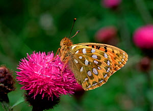 Dark green fritillary butterfly (Argynnis aglaja) on flower, Ballymaclary NNR, County Londonderry, Northern Ireland, UK, July  -  Robert Thompson