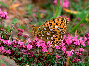 Dark green fritillary butterfly (Argynnis aglaja) on flowers, wings closed, Murlough NNR, County Down, Northern Ireland, UK  -  Robert Thompson