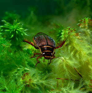 Diving beetle (Dytiscus circumcintus) underwater, Montiaghs Moss NNR, County Antrim, Northern Ireland, UK  -  Robert Thompson