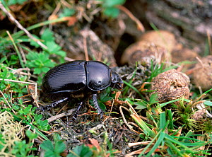 Dor beetle (Geotrupes stercorarius) on ground, Mourne Mountains, County Down, Northern Ireland, UK, August  -  Robert Thompson
