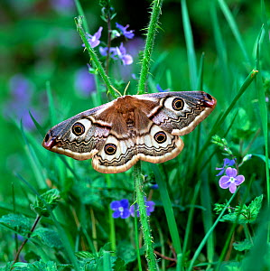 Small emperor moth (Saturnia pavonia) on Speedwell flowers, Annagarriff Wood NNR, County Armagh, Northern Ireland, UK, May - Robert Thompson