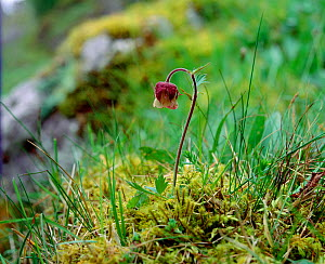 Water avens (Geum rivale) flowering amongst damp moss, Knockmore, County Fermanagh, Northern Ireland, UK, May  -  Robert Thompson