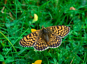 Glanville fritillary butterfly (Melitaea cinxi) resting on grass with wings open, Isle of White, Hampshire, UK, June - Robert Thompson