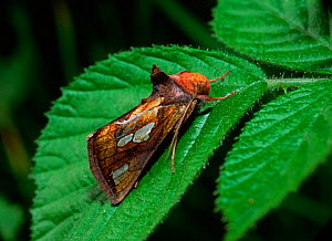 Gold spot moth (Plusia festucae) resting on leaf,  Portadown, County Armagh, Northern Ireland, UK, May - Robert Thompson