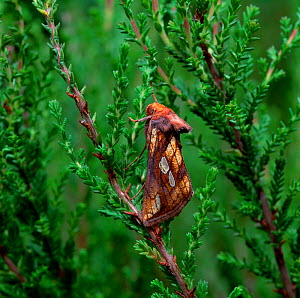 Gold spot moth (Plusia festucae) resting on heather, Argory, County Armagh, Northern Ireland, UK - Robert Thompson