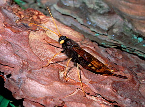Greater horntail / Wood wasp (Urocerus gigas) on pine bark, Tollymore Forest, County Down, Northern Ireland, UK, June  -  Robert Thompson