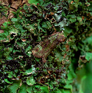 Green arches moth (Anaplectoides prasina) resting, camouflaged on branch, Castlewellan Forest Park, County Down, Northern Ireland, UK, July  -  Robert Thompson