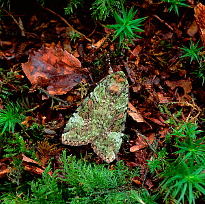 Green arches moth (Anaplectoides prasina) Rehaghy Mountain, County Tyrone, Northern Ireland, UK, June  -  Robert Thompson