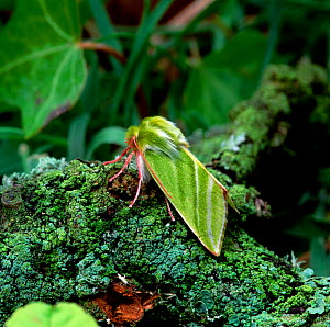 Green silver-lines moth (Pseudoips fagana britannica) Lackan bog, County Down, Northern Ireland, UK - Robert Thompson